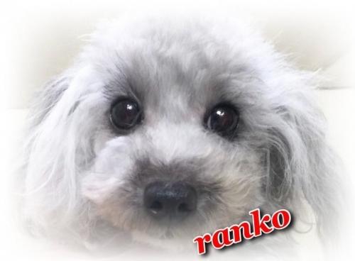 トイプードルの子犬(ID:1231111030)の4枚目の写真/更新日:2018-08-20