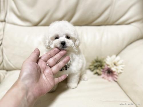 トイプードルの子犬(ID:1231111031)の2枚目の写真/更新日:2018-08-31