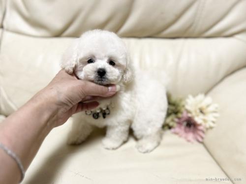 トイプードルの子犬(ID:1231111031)の3枚目の写真/更新日:2018-08-17