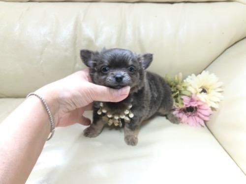 チワワ(ロング)の子犬(ID:1231111041)の1枚目の写真/更新日:2020-10-26