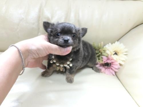 チワワ(ロング)の子犬(ID:1231111041)の2枚目の写真/更新日:2020-10-26
