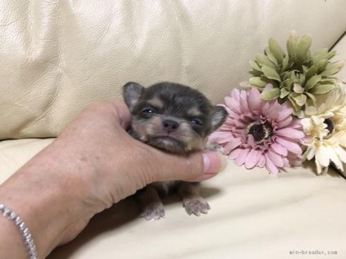 チワワ(ロング)の子犬(ID:1231111046)の1枚目の写真/更新日:2020-10-26