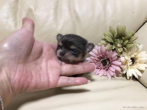 チワワ(ロング)の子犬(ID:1231111046)の2枚目の写真/更新日:2020-10-26