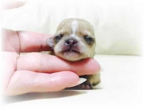 スムースチワワ子犬
