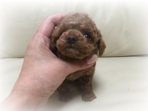 トイプードルの子犬(ID:1231111055)の2枚目の写真/更新日:2017-01-03