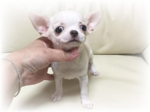 チワワ(スムース)の子犬(ID:1231111056)の1枚目の写真/更新日:2017-03-10