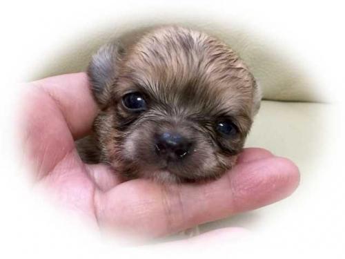 チワワ(ロング)の子犬(ID:1231111060)の1枚目の写真/更新日:2017-05-15