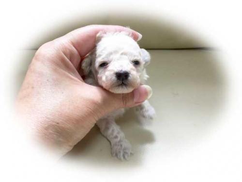 トイプードルの子犬(ID:1231111063)の1枚目の写真/更新日:2017-05-29