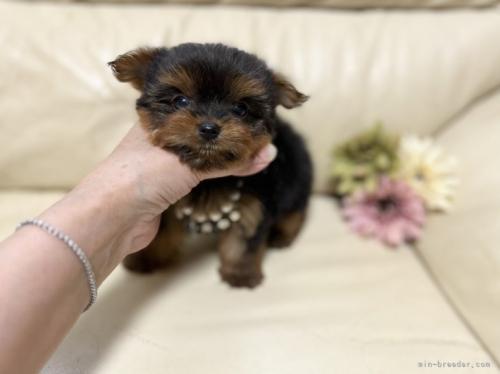 ヨークシャーテリアの子犬(ID:1231111065)の2枚目の写真/更新日:2017-07-07