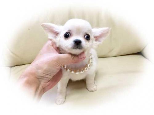 チワワ(ロング)の子犬(ID:1231111066)の1枚目の写真/更新日:2017-07-18