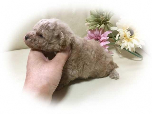 トイプードルの子犬(ID:1231111074)の2枚目の写真/更新日:2018-01-02