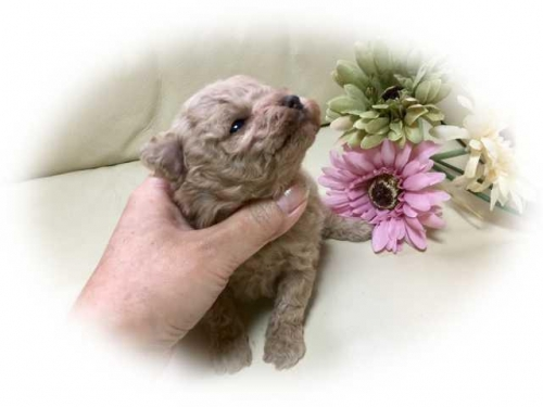 トイプードルの子犬(ID:1231111074)の3枚目の写真/更新日:2018-01-02