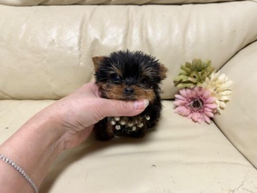 ヨークシャーテリアの子犬(ID:1231111075)の1枚目の写真/更新日:2018-01-12