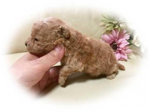 トイプードルの子犬(ID:1231111076)の2枚目の写真/更新日:2018-02-05