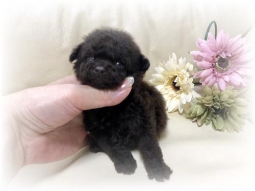 トイプードルの子犬(ID:1231111078)の1枚目の写真/更新日:2018-06-14