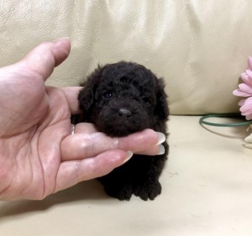 トイプードルの子犬(ID:1231111079)の1枚目の写真/更新日:2018-05-31