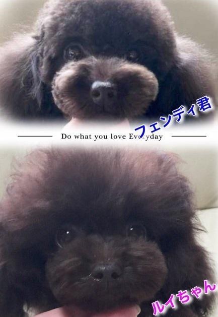 トイプードルの子犬(ID:1231111079)の4枚目の写真/更新日:2018-05-31