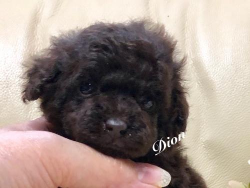 トイプードルの子犬(ID:1231111079)の5枚目の写真/更新日:2018-06-08