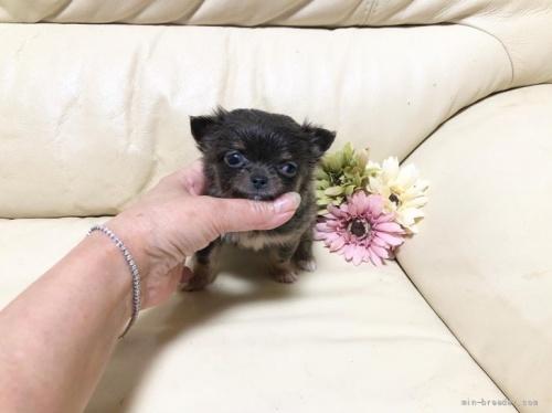 チワワ(ロング)の子犬(ID:1231111080)の1枚目の写真/更新日:2018-07-05