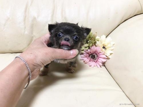 チワワ(ロング)の子犬(ID:1231111080)の2枚目の写真/更新日:2018-07-05