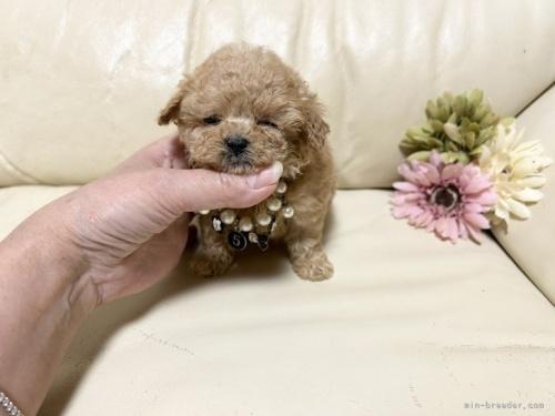 トイプードルの子犬(ID:1231111081)の2枚目の写真/更新日:2018-06-11