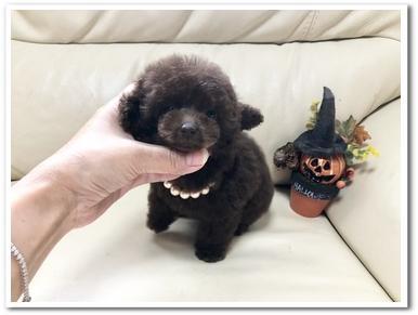 トイプードルの子犬(ID:1231111083)の1枚目の写真/更新日:2018-09-03
