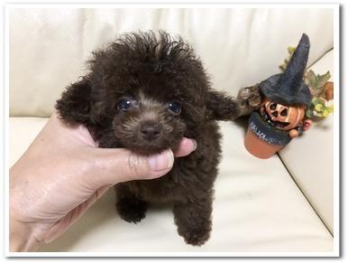 トイプードルの子犬(ID:1231111083)の3枚目の写真/更新日:2018-09-03
