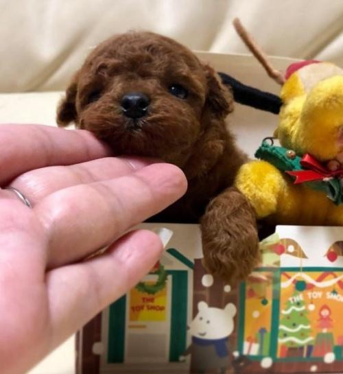 トイプードルの子犬(ID:1231111085)の1枚目の写真/更新日:2018-12-02