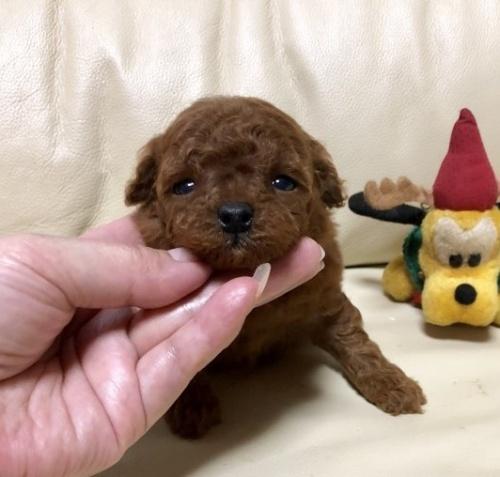 トイプードルの子犬(ID:1231111085)の2枚目の写真/更新日:2018-12-02