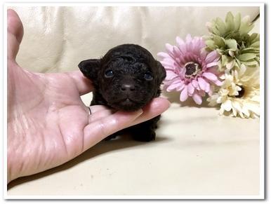 トイプードルの子犬(ID:1231111087)の1枚目の写真/更新日:2019-01-12