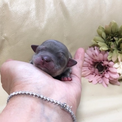 チワワ(ロング)の子犬(ID:1231111093)の1枚目の写真/更新日:2021-03-08