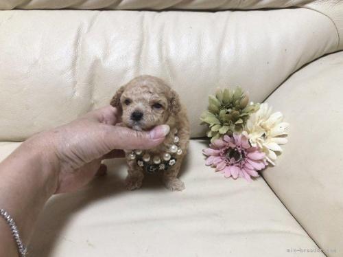 トイプードルの子犬(ID:1231111094)の2枚目の写真/更新日:2021-03-17