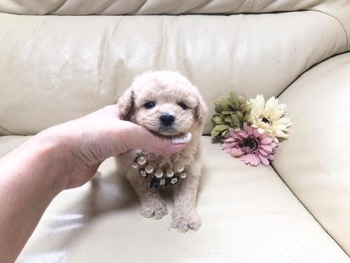 トイプードルの子犬(ID:1231111101)の1枚目の写真/更新日:2021-07-30