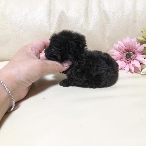 トイプードルの子犬(ID:1231111102)の2枚目の写真/更新日:2021-07-30