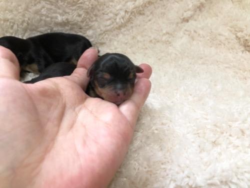 ヨークシャーテリアの子犬(ID:1231111105)の1枚目の写真/更新日:2021-09-17