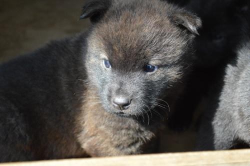 甲斐犬の子犬(ID:1231311035)の1枚目の写真/更新日:2017-11-18