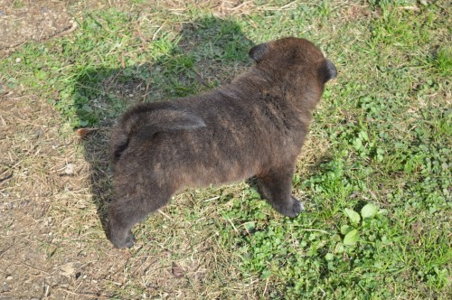 甲斐犬の子犬(ID:1231311035)の3枚目の写真/更新日:2017-11-18