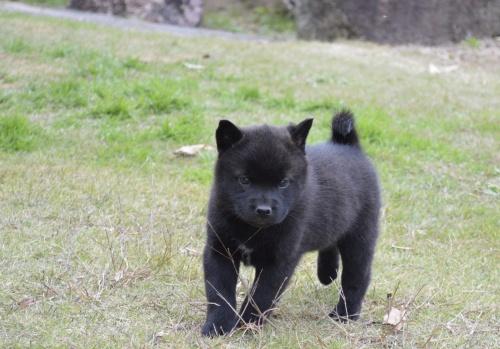 甲斐犬の子犬(ID:1231311037)の1枚目の写真/更新日:2017-11-21