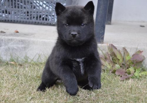 甲斐犬の子犬(ID:1231311037)の3枚目の写真/更新日:2017-11-21