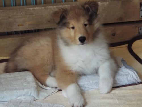 ラフコリーの子犬(ID:1231411003)の1枚目の写真/更新日:2017-07-15