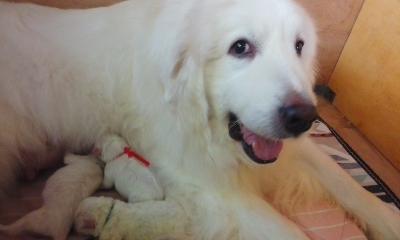グレートピレニーズの子犬(ID:1231811034)の2枚目の写真/更新日:2018-04-19