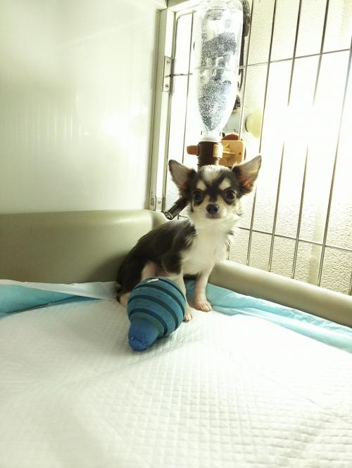 チワワ(ロング)の子犬(ID:1231911054)の2枚目の写真/更新日:2017-01-23