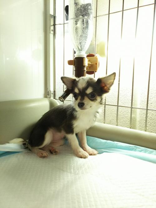 チワワ(ロング)の子犬(ID:1231911054)の3枚目の写真/更新日:2017-01-23