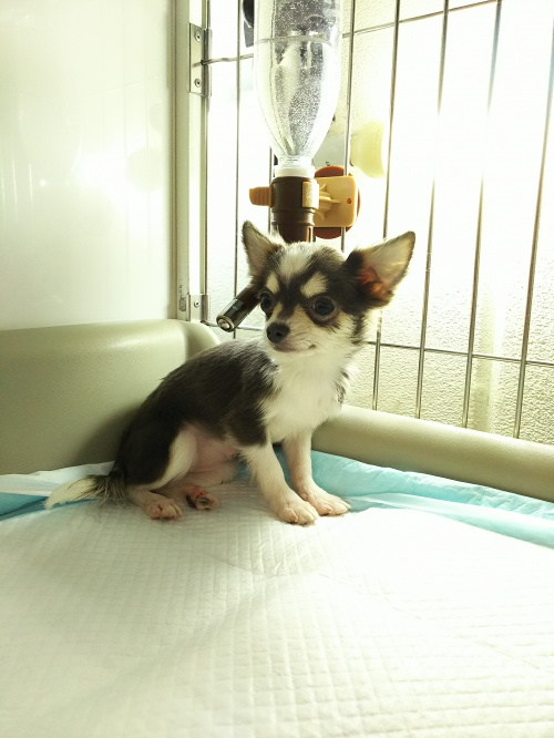 チワワ(ロング)の子犬(ID:1231911054)の4枚目の写真/更新日:2017-01-23