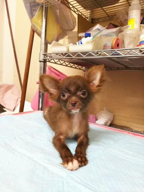 チワワ(ロング)の子犬(ID:1231911056)の1枚目の写真/更新日:2017-01-23