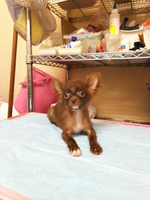チワワ(ロング)の子犬(ID:1231911056)の2枚目の写真/更新日:2017-01-23
