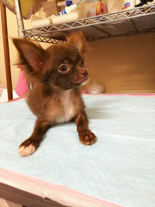 チワワ(ロング)の子犬(ID:1231911056)の3枚目の写真/更新日:2017-01-23