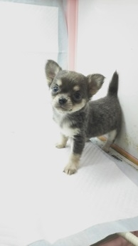 チワワ(ロング)の子犬(ID:1231911063)の1枚目の写真/更新日:2018-04-02