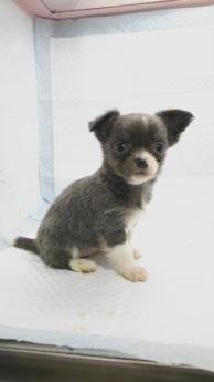 チワワ(ロング)の子犬(ID:1231911064)の1枚目の写真/更新日:2018-04-02