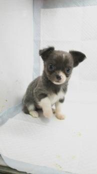 チワワ(ロング)の子犬(ID:1231911064)の2枚目の写真/更新日:2018-04-02